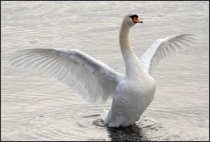 g31_mute-swan (2)